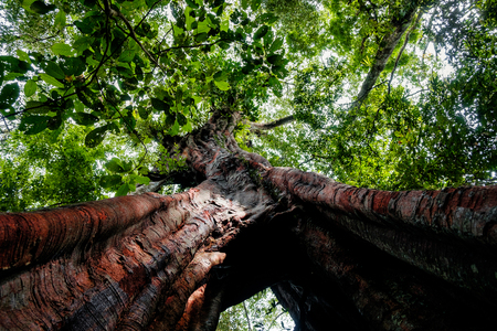 below view of huge millenary tree in the untouched sumatra rainforest Фото со стока