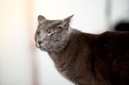 close up of grey cute carthusian blind cat, he lost his eyes as kitten due to a common disease