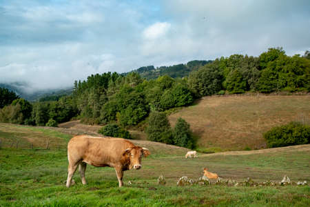 """Closeup of Galician blonde cows, known as """"rubia gallega"""" in the hills countryside of Galicia landscape, in spain. Grazing in natural pasture on a cloudy day Standard-Bild"""