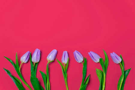closeup of lilac tulips on red background. valentine's day concept. minimal composition. row of colorful tulips flowers flat lay with copy space