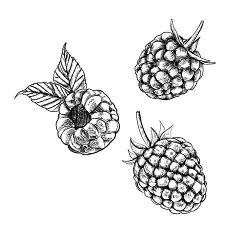 Raspberry isolated berry engraved sketch on white background. Summer berry engraved illustration style. Hand-drawn food. Great for label, poster, print Illusztráció