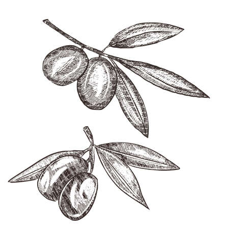 Olive brunch vintage engraving style illustration. Hand drawn style Olive vector illustration. Sketch olive twig