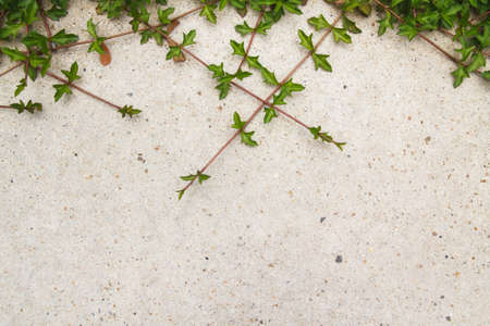creeping: Green creeping plant on concrete background