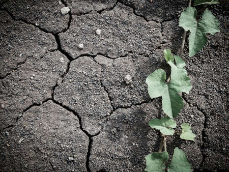 infertile: Ivy tree on dry crack and infertile soil