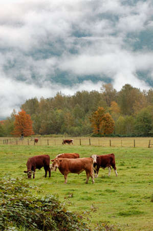 north cascade national park: Cows at North Cascade national Park in autumn
