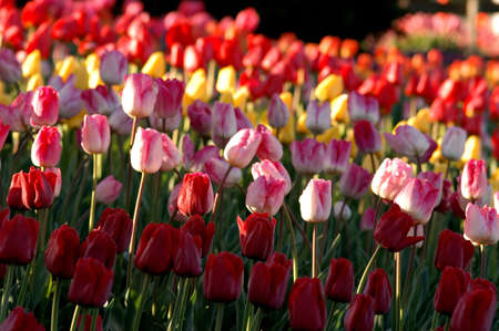 Annual tulip festival at Skagit Valley in Mount Vernon, WA Stock Photo - 2257550