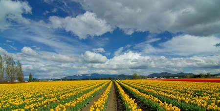 skagit: Tulip Field
