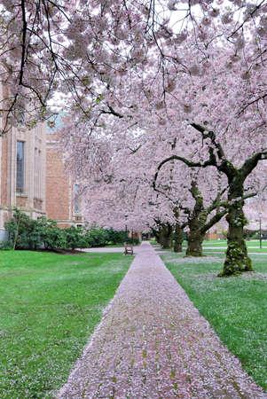 벚꽃이 덮힌 경로