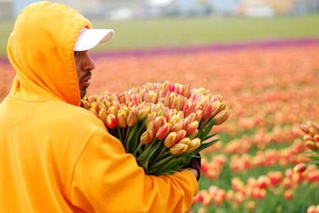 Man Working in the Tulip Field photo