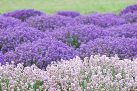 Pink and Purple Lavender Stok Fotoğraf