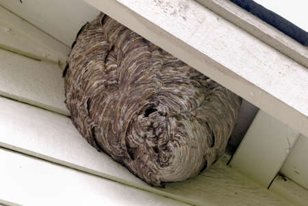 animal nest: Huge Bee Hives Underneath the roof of a residence house Stock Photo