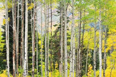 aspen tree: Autumn at the Big Cottonwood Canyon, Utah Stock Photo