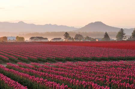 skagit: Red tulips at the Skagit Valley Tulip Festival, Washington Stock Photo