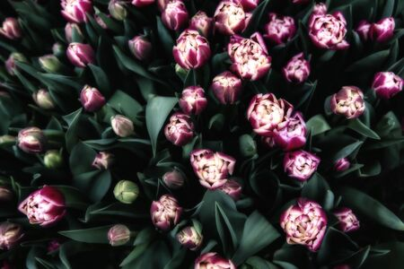 big leafs: Big bunch of pink tulips with green leafs