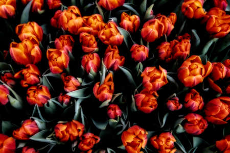 big leafs: Big bunch of red tulips with green leafs