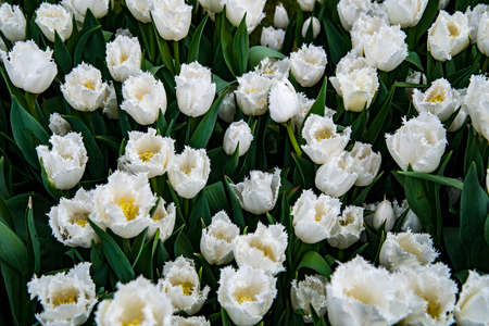 big leafs: Big bunch of white tulips with green leafs