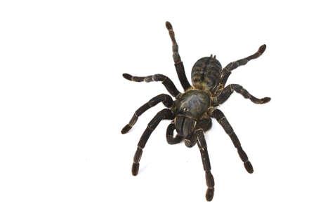 Spider isol� sur un fond blanc