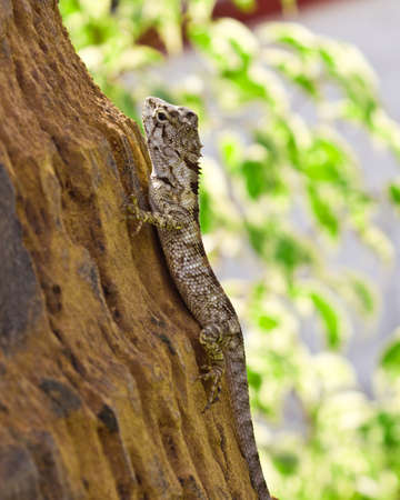small bearded dragon grab on the tree Stock Photo