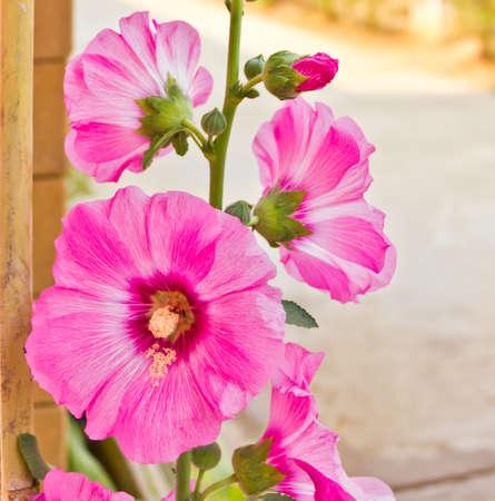 Malva Alcea rosea rose tr�mi�re fleur en Tha�lande