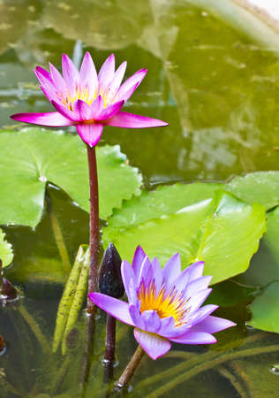 lotus in the pond with leaves photo