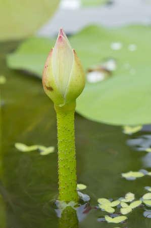 peu de lotus dans l'�tang avec les feuilles vertes