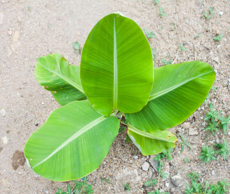 view above of a little banana tree Stock Photo