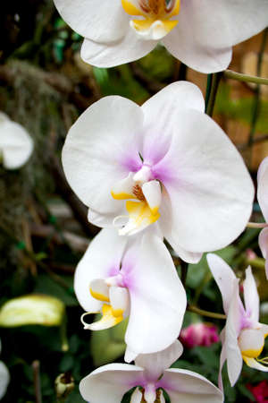 close up shot of the white orchid in Thailand
