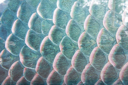 caudal: texture of fish scale, close up shot for background