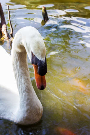 close up of the swans head Stock Photo