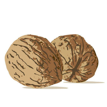 nut Illustration