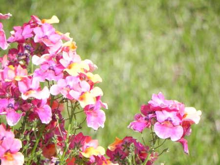 hybrida: Nemesia hybrida