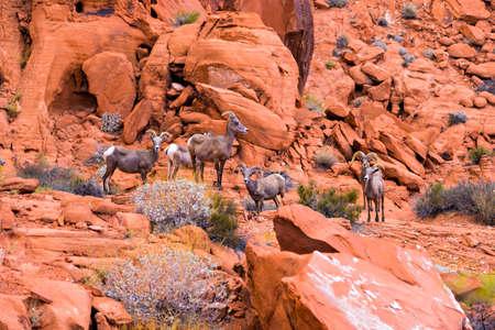 nevada desert: Desert big horn sheep in Valley of Fire State Park, Nevada, USA Stock Photo