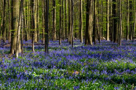teardrop: Bluebells, Tranendal Teardrop Valley in Hallerbos, Belgium Stock Photo