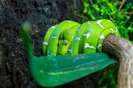 lia: An emerald tree boa Corallus caninus curled up on branch