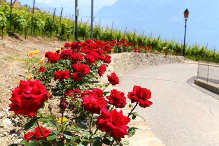 footpath: Red roses along the road in small town of Lutry, Switzerland in June