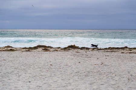 Dog running on beach in Monterey Grove, California, US