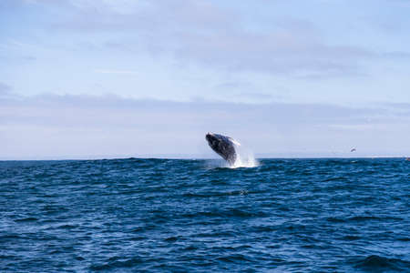 entire: Humpback whale Megaptera novaeangliaejumping out of water in Monterey bay, California
