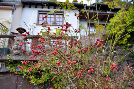 albero radica dolce con la vecchia casa in fondo a Vianden, Lussemburgo Archivio Fotografico