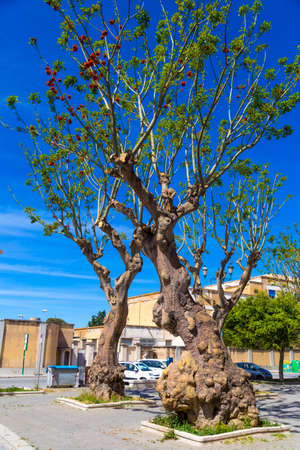 erythrina: Erythrina trees in red blossom during clear sunny day in May, Trapani, Sicily, Italy Stock Photo