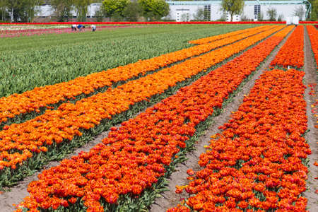 lisse: Orange and yellow tulip field near village of Lisse in the Netherlands in May
