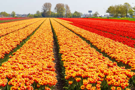lisse: Orange and yellow tulip field close-up near village of Lisse in the Netherlands in May Stock Photo