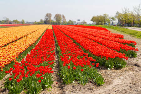lisse: Orange and yellow tulip fields near village of Lisse in the Netherlands in May
