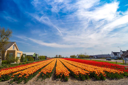 lisse: Blue sky over orange and yellow tulip fields near village of Lisse in the Netherlands in May Stock Photo