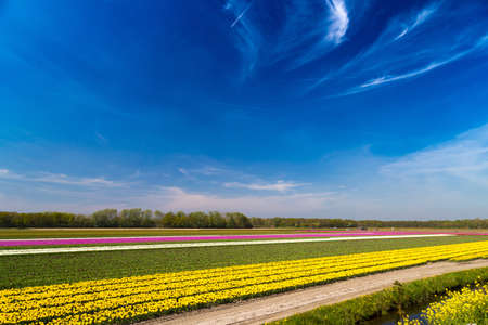 lisse: Blue sky over multicolor tulip fields near village of Lisse in the Netherlands in May Stock Photo