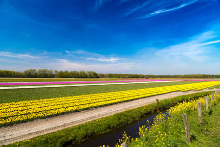 lisse: Blue sky over yellow tulip fields near village of Lisse in the Netherlands in May Stock Photo