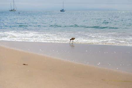 us sizes: Sandpiper sea bird on the shore at Santa Cruz beach, California, USA