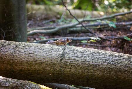 ardilla: Siberian chipmunk on log in Foret de Soignes (Sonian Forest), Brussels, Belgium