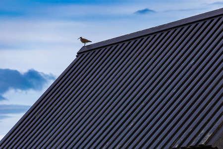 Eurasian Curlew (Numenius arquata) on top of roof of black church Budakirkja, Iceland
