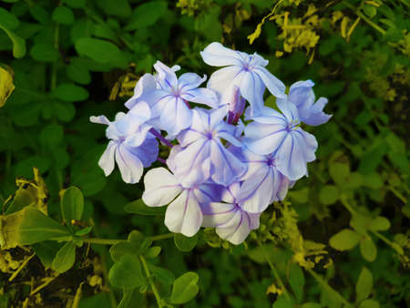 jasmine plant in the garden