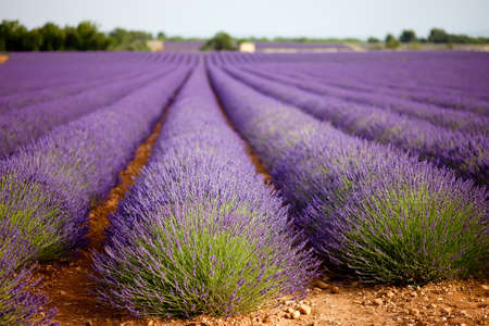 lavender bushes: Large lavender field in Provence, France in full purple bloom, july  Shallow depth of field, background blurry